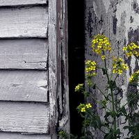 Yellow flower weed in front of shed door v4